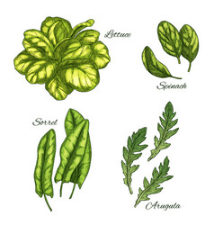 Green vegetable and salad leaf sketch set vector