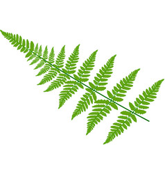 Green fern leaves on white background vector