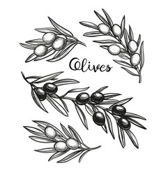 Hand drawn of olive branches vector