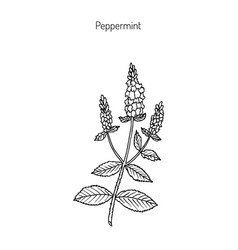 peppermint peppermint with leaves and flowers vector image