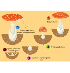 Fungi life cycle vector