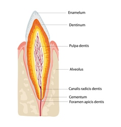 anatomy tooth vector image vector image