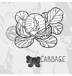 Hand drawn whole and sliced cabbage vector