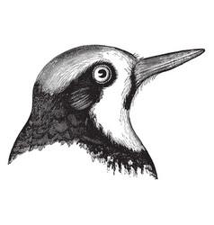Californian woodpecker vintage vector