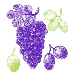 Grape hand draw sketch vector