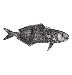 Pilot fish vintage engraving vector image