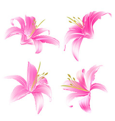 Spring flowers lily pink daylily vintage vector