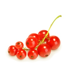 Redcurrant berries vector