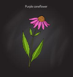 Purple coneflower echinacea purpurea medicinal vector