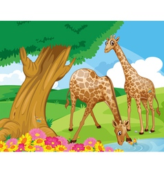 Giraffes at the riverbank vector