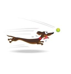 Dachshund dog running for tennis ball vector image