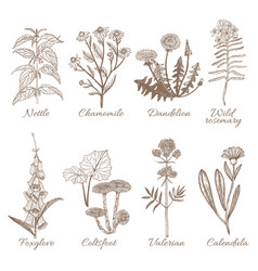 set of medicinal plants vector image