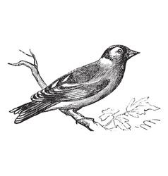 Finch vintage engraving vector image vector image