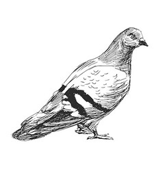 Hand sketch of a pigeon vector image