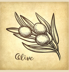 hand drawn of olive branch vector image vector image