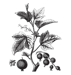 Ribes berry or blackcurrant or vintage engraving vector