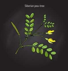Siberian peashrub caragana arborescens vector
