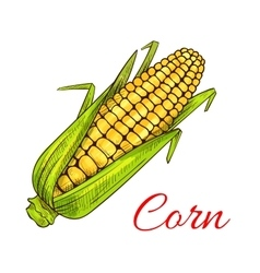 Corn cob vegetable sketch vector image