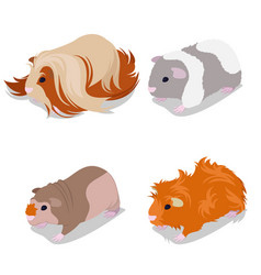 Guinea pig breeds set with peruvian american vector