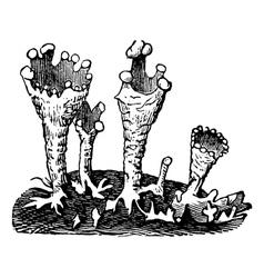 Cup lichen vintage engraving vector