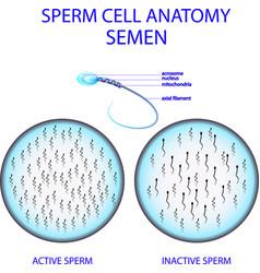 sperm cell anatomy semen vector image vector image