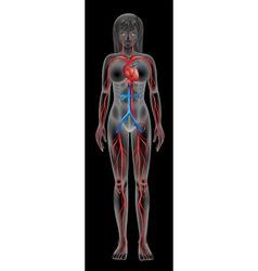Circulatory system vector image vector image