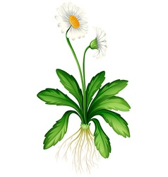White daisy with roots vector