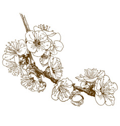 engraving of cherry blossom or sakura vector image