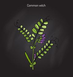 The vetch vicia sativa vector