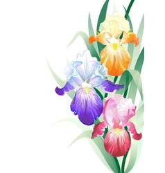 Holidays card with iris flowers bouquet vector