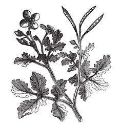 Greater Celandine vintage engraving vector image vector image