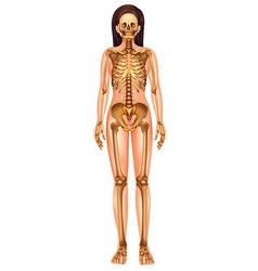 Human skeletal system vector