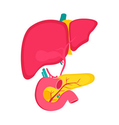 Educational medical poster with pancreas and liver vector