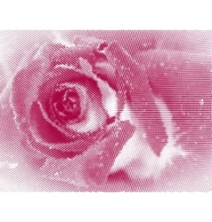 rose close up vector image