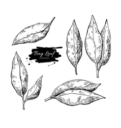 Bay leaf hand drawn set vector
