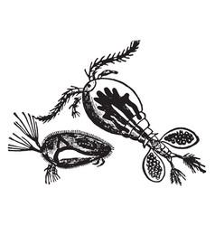 Water flea vintage vector