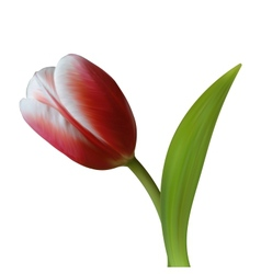 Close up of tulip flower on white background vector