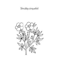 Shrubby cinquefoil plant vector