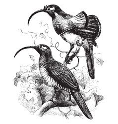D albertis bird of paradise vintage vector