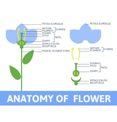 Detail of anatomy flower vector