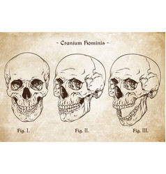 Human skulls set hand drawn line art vector