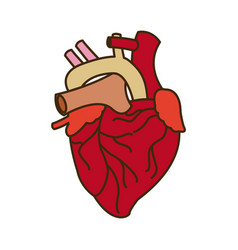 Human heart medical anatomical artery vector