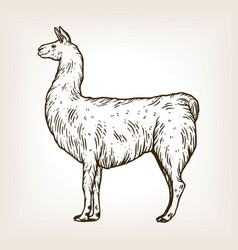 Llama animal engraving vector