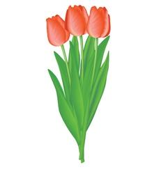 bouquet tulip vector image