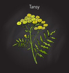 Tansy tanacetum vulgare  or common tansy vector