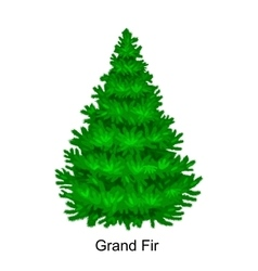 Christmas tree like grand fir for New year vector image vector image