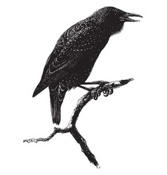 Common starling vintage vector