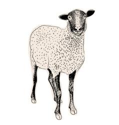 Hand drawn sheep vector