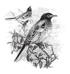 Warty faced honey eater vintage vector