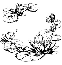 water lily vector image vector image